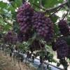 吉林茉莉香葡萄苗,公主岭市茉莉香葡萄苗膨大剂价格