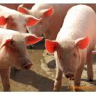 无公害生猪养殖基地国家生猪示范养殖场