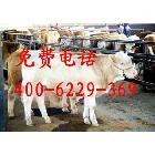 鲁西黄牛。西门塔尔牛,夏洛莱牛.利木赞牛