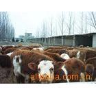 供应优质西门塔尔牛养殖基地