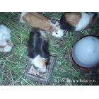 豚鼠养殖投资小大回报(看看视频更直接)