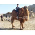 双峰骆驼 旅游骆驼 骆驼照相