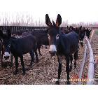 肉驴 肉驴养殖基地