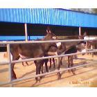 供应德州肉驴,山东畜牧师向养殖者推荐的优良的品种德州肉驴苗