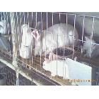2012年最新最全獭兔养殖技术