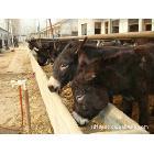 供应肉驴种苗、农村创业致富、养殖肉驴、养驴效益行情