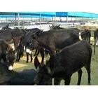 底价出售5000头肉驴 肉驴养殖 肉驴品种的效益分析