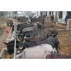 2012年毛驴 德州肉驴 乌头育肥毛驴的最新价格
