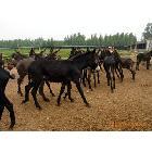 种驴的选育 选购与饲养技术 奥旺牧业养殖场供应资料
