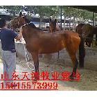 山东天宏牧业提供跑马赛马马驹种马骏马养殖赛马价格马匹买马养马