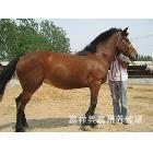 供应养马-伊犁马-马品种-马匹价格-骑乘马-纯血马-养马基地