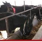 大量供应优质育肥肉驴 品种好价格低 奥旺牧业养殖场