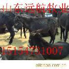 肉驴养殖场 肉驴养殖找远航牧业