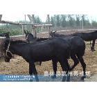 供应种驴养殖技术-种驴-种驴驴驹-种驴交配技术