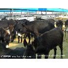 改良肉驴  肉驴养殖基地