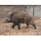 特供黑龙江东方红林业局完达山林下放养驯化野猪