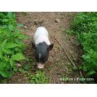 香猪、巴马香猪、生猪、种猪、苗猪