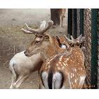 供应双阳养殖型母鹿 经济型公鹿 仔鹿