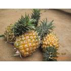 产地直销,供应徐闻曲界优质压汁《菠萝;凤梨》
