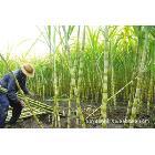 承包种植自产自销广东黄皮甘蔗,水果甘蔗