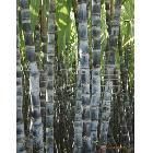 广西博白县优质黑皮甘蔗 代理 供应全国