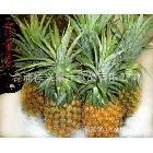 供应优质春蜜菠萝