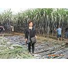 供应广西优质黑皮甘蔗