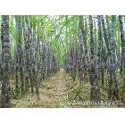 广西博白县优质黑皮甘蔗代理 供应全国