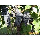 供应优质山葡萄(图)