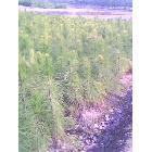 湿地松60至350公分高大苗
