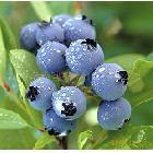 吉林通化地区供应鲜果蓝莓(图)