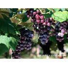 昆山夏黑葡萄