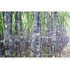 大量供应广西博白黑皮甘蔗