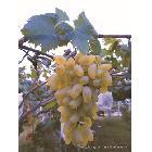 大泽山葡萄高氏葡萄庄园高氏庄园有机葡萄