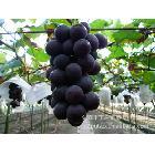供应大量巨峰葡萄 葡萄 量大从优 葡萄园