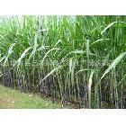 供应甘蔗 优质黑皮甘蔗 清甜脆口  特价优惠(图)