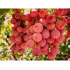 供新疆优质红地球,红提葡萄