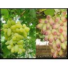 供应无公害优质上等长兴葡萄
