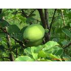 【大量供应】美容保健生态养生木瓜