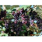 供应大粒葡萄