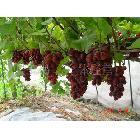 反季节大棚葡萄 元旦上市  成熟最晚的葡萄