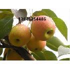 南果梨,出口南果梨。皮薄,小树果