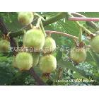 供应来之秦岭深山野生纯天然l绿色保健水果猕猴桃