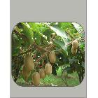 【优质直销】专业提供秦美生态园猕猴桃鲜果