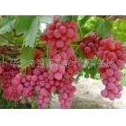新鲜玫瑰香葡萄红提葡萄维多利亚葡萄
