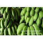 香蕉批发代理  汕头潮阳金灶香蕉代收香蕉
